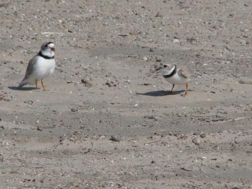 Piping Plover Biology