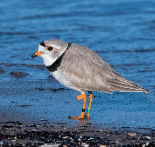 Piping Plovers 2018
